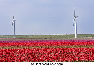 éoliennes, tulipes, il, champ, derrière, hollandais