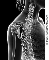 épaule, jointure, -, squelette, femme