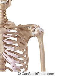 épaule, ligaments