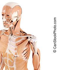 épaule, muscles
