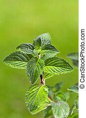 épice, herbier, dehors, nature, menthe verte, menthe poivrée...