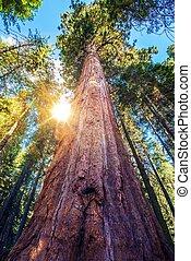 épico, sequoia, lugar