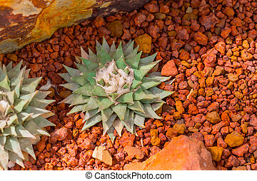 épine, aride, dièse, désert, rocher, terre, cactus, nature, ...