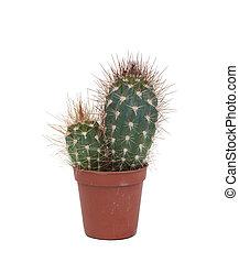 épineux, usine cactus, isolé