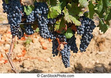 érés, csomó, szőlő, bor