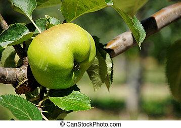 érés, főz alma, elágazik, bramley