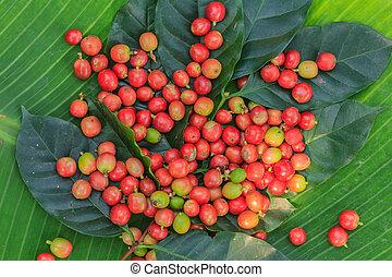 érés, kávécserje fa