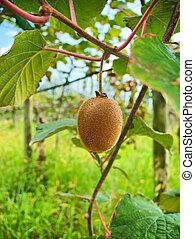 érés, kiwifruit