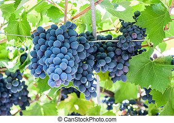 érés, szőlőtőke, szőlő, csoportosul