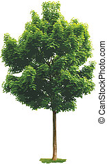 érable, arbre.