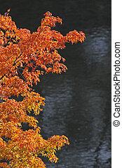 érable, branche, arbre, automne