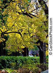 érable, concept, feuille, couleur, arbre, feuilles, quand, changement, :, japon