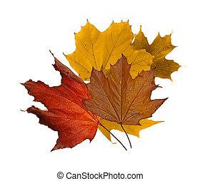 érable, feuilles autome