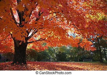 érable, gloire, automne