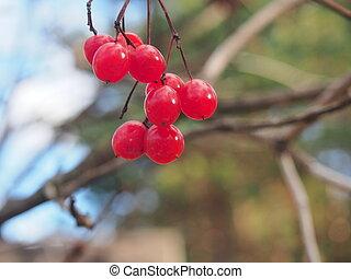 érett, autumn., viburnum., bogyók, piros, csokor