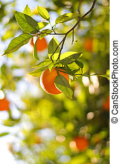 érett, dof., sekély, fa, narancs, close-up.