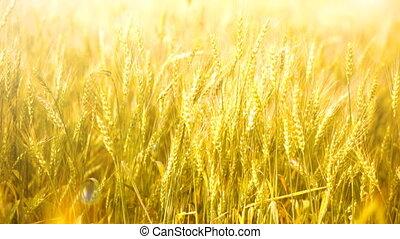 érett, fülek, közül, búza, lenget, képben látható, egy,...