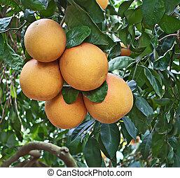 érett, grapefruit, képben látható, egy, fa