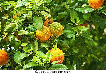 érett, nap, fa, narancsfák, lokátorral helyet határoz meg, friss