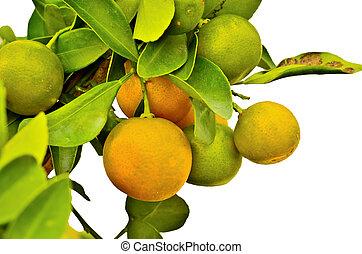 érett, narancsfák, felakaszt, egy, fa
