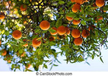 érett, narancsfák, képben látható, egy, fa