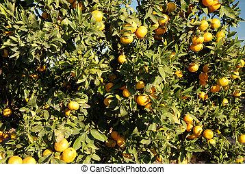 érett, narancsfák