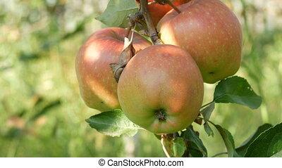 érett, piros alma, felakaszt, elágazik, a kertben