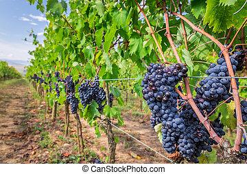 érett, szőlő, alatt, egy, szőlőskert, toszkána