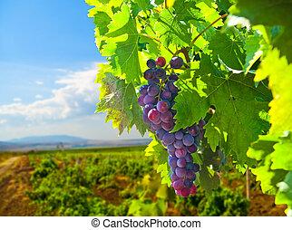 érett, szőlő