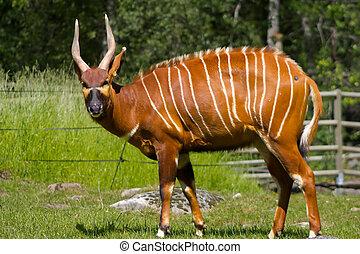 érintkezés, szem, antilope