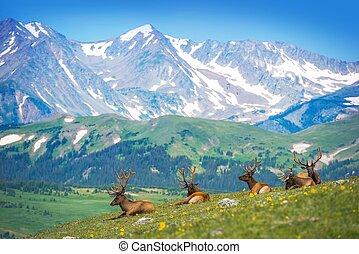 észak-amerikai, jávorantilopok
