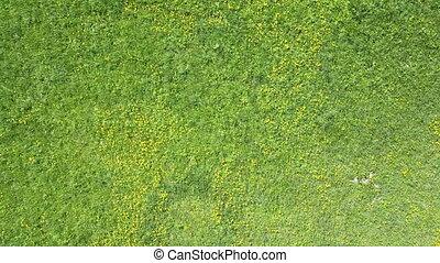 été, aérien, ensoleillé, jaune, bourdon, champ, pissenlits, jour, vue