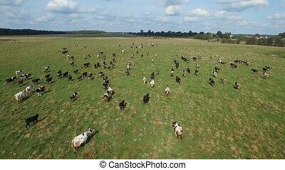 été, aérien, troupeau, champ, vert, vaches, vue