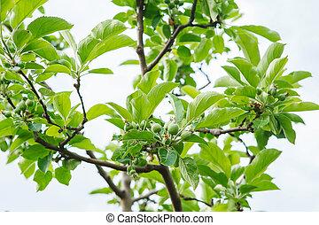 été, arbre., orchard., vert, branches, vert, mûrir, petit, pommes