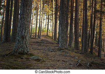 été, arbres, pin, ensoleillé, coucher soleil, sentier forêt