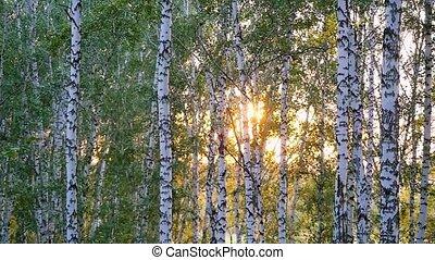 été, arbres, slowmotion., coucher soleil, forêt, bouleau,...