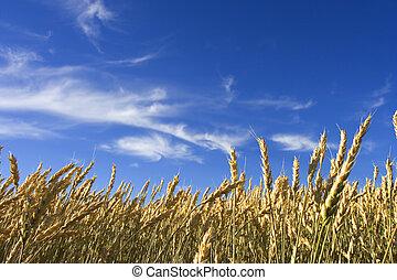 été, blé