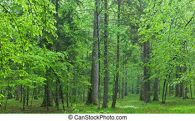 été, chênes, vieux, forêt, brumeux