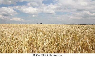 été, champ blé, vent, doré