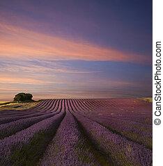 été, champ lavande, abrutissant, coucher soleil, paysage