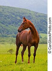été, cheval, pré, arabe, rouge vert