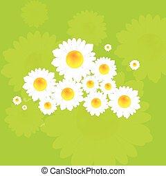 été, clair, fleurs, fond, camomile