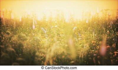 été, coucher soleil, sauvage, champ, fleurs
