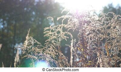été, coup, pré, herb., clair, fin, grass., mouvement, lent, lumières, soleil, champ, chariot, usines, illumine, chaud, fond, sec, light., haut, defocused., sauvage