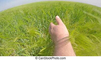été, courses, lent, blé, main, champ, par, paysan, mûrir, vert, motion:, oreilles