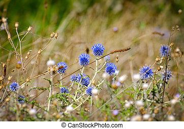 été, fleur, champ