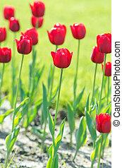été, fleurs, jardin, tulipe