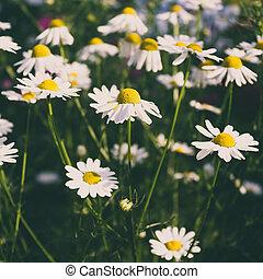 été, fleurs, pré, jour, pâquerette