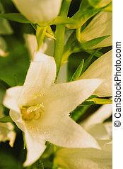 été, flore, fleur jardin, closeup, blanc, jour