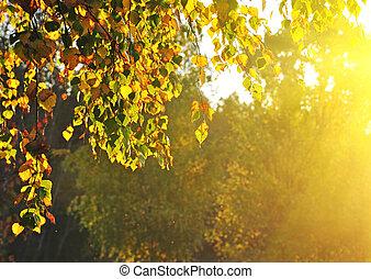 été, forêt, arbres, bouleau